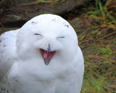 laughing snow owl